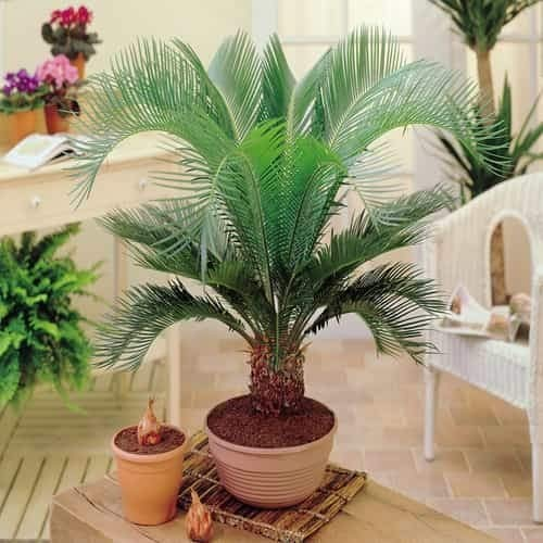 TOMASA Jardin-Palm chamaedorea jardín exótico hollyhock hardy perenne palmera plantas de interior balcón planta ornamental botella semilla de palma